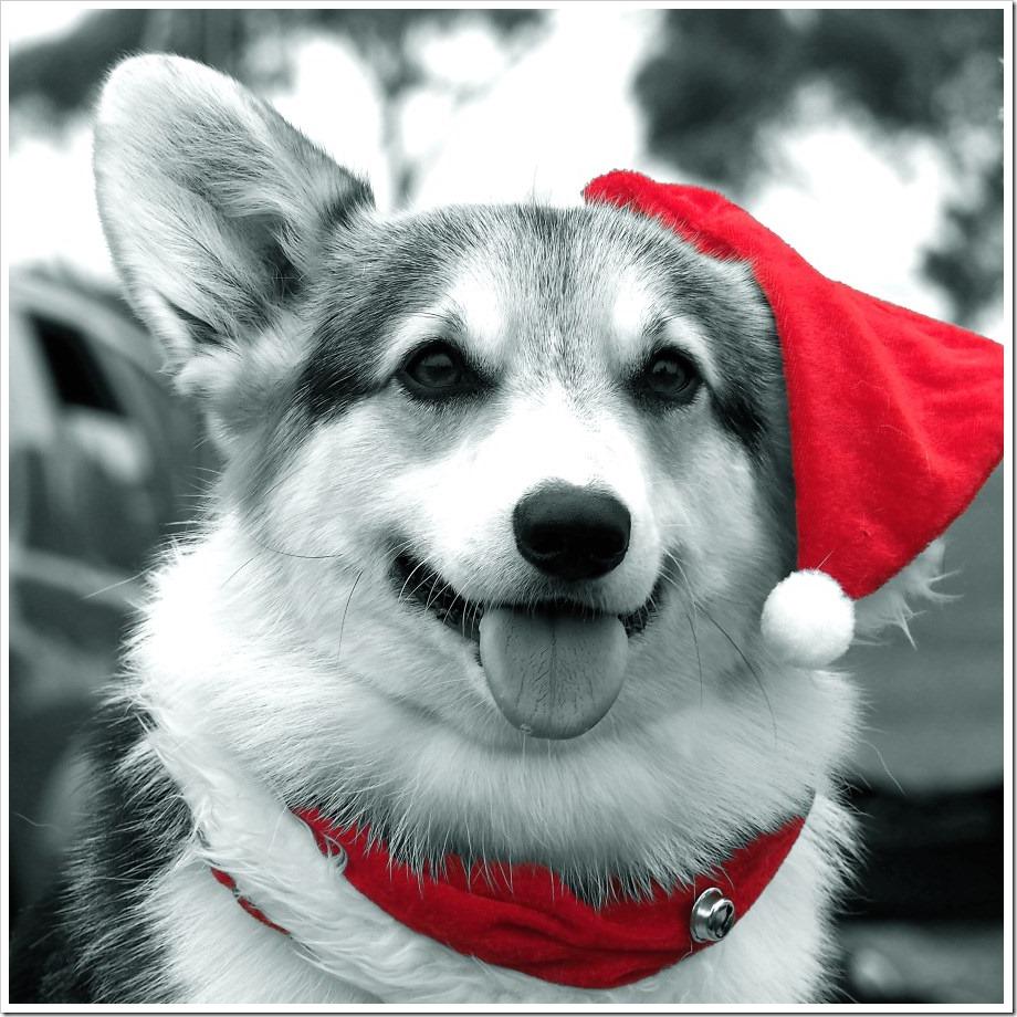 Christmas Corgi #1
