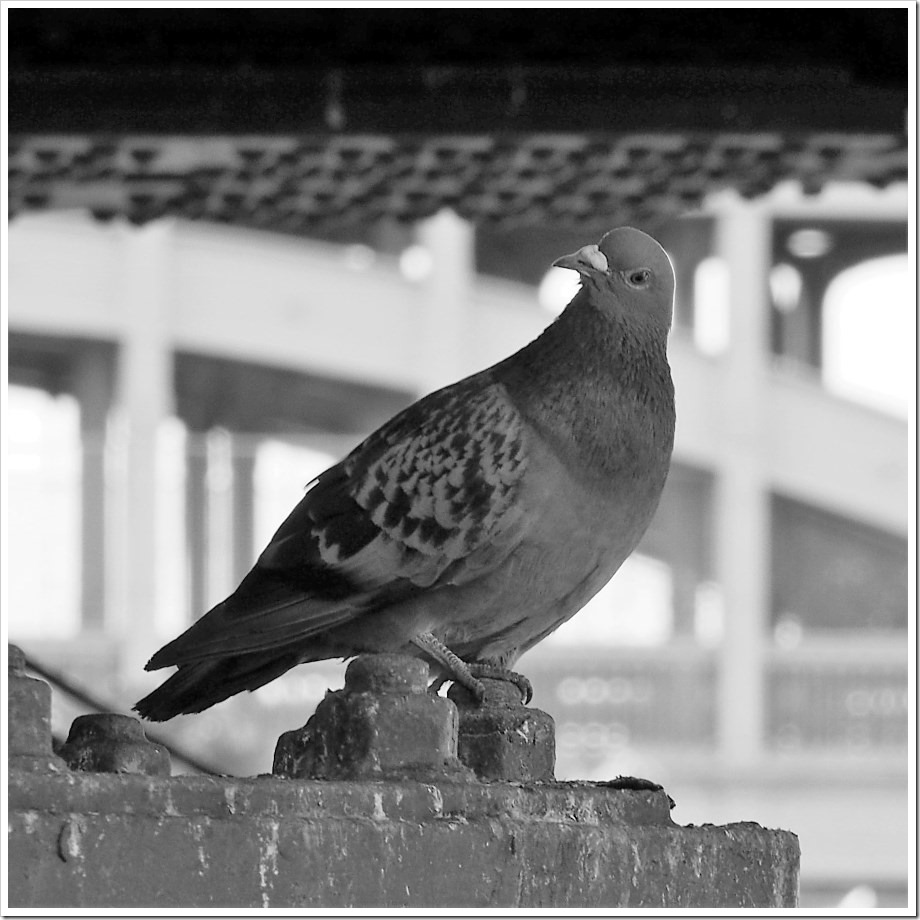 Gateshead Pidgeon