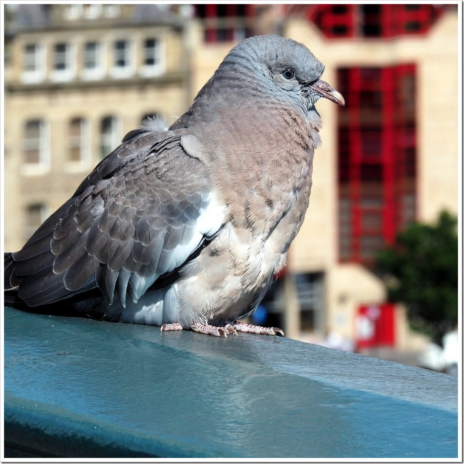 Tyne Bridge Pidgeon