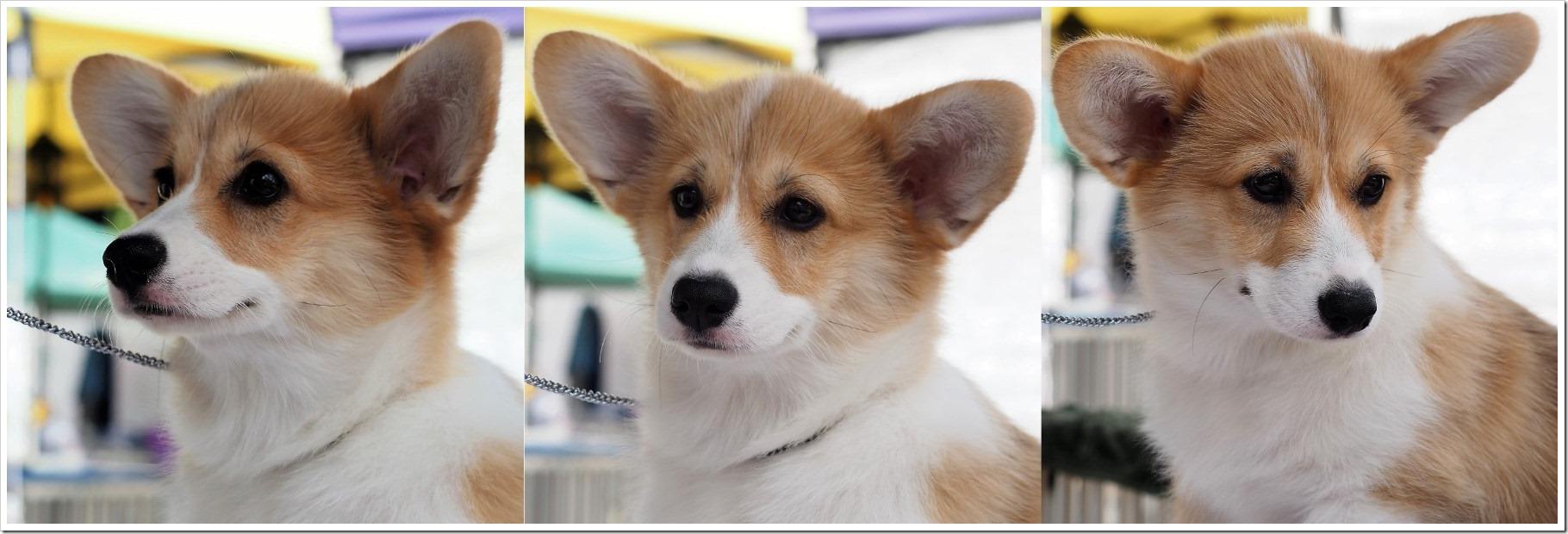 Pembroke Puppy - Lang Lang