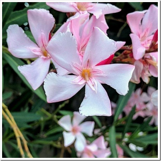 Nerium Oleander #1