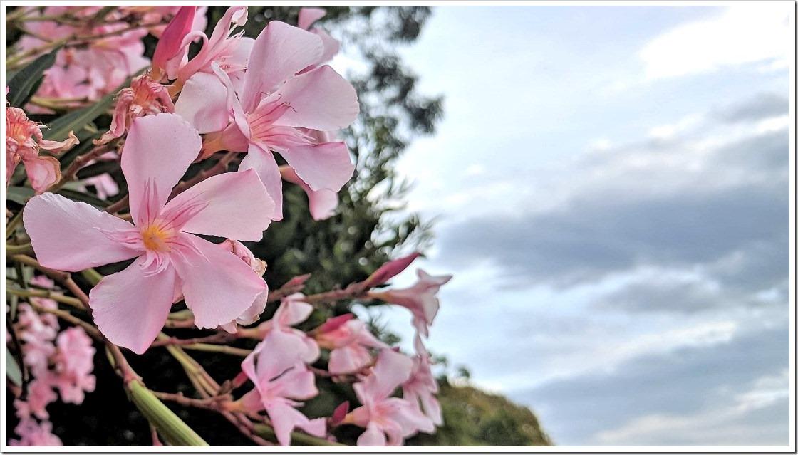 Nerium Oleander #2