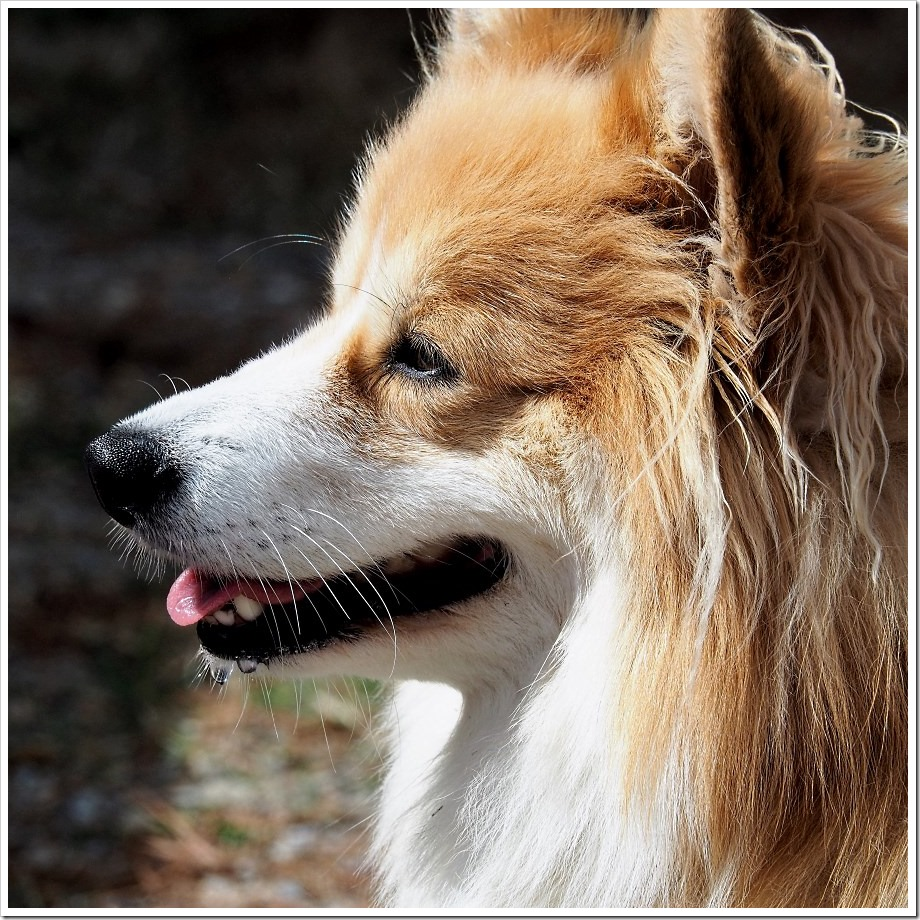 Fluffy Corgi Profile