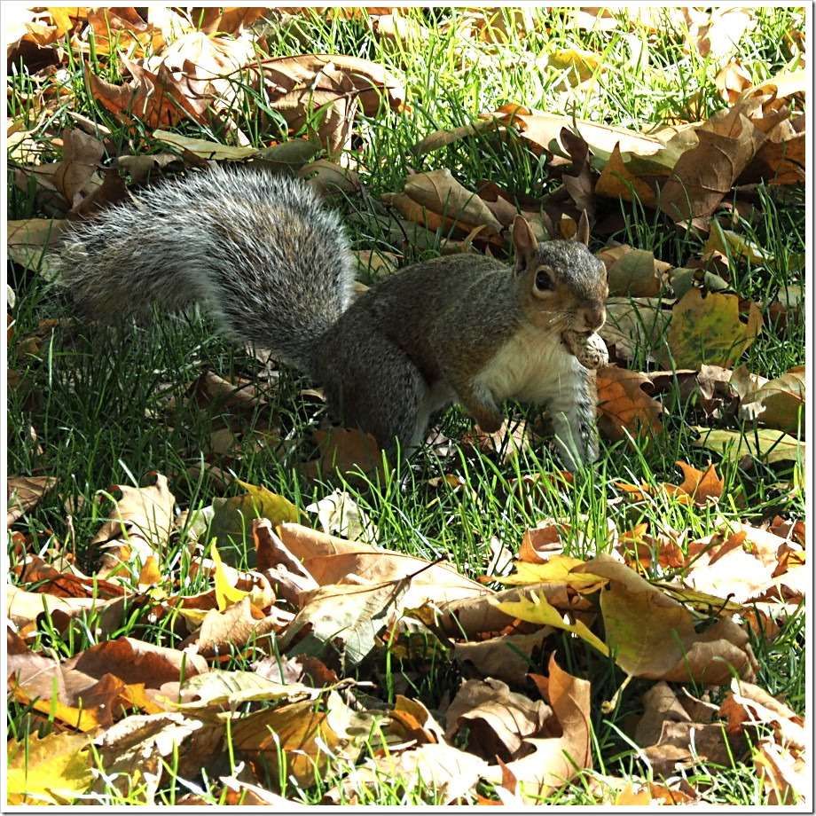 Autumn Squirrel 3