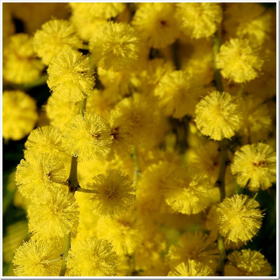 Wattle Blossom